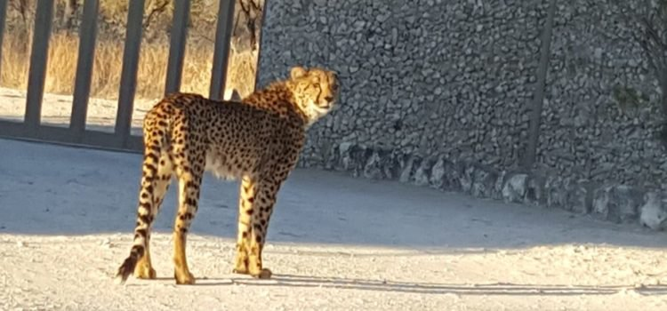 Cheetahs visit The Mushara Lodge