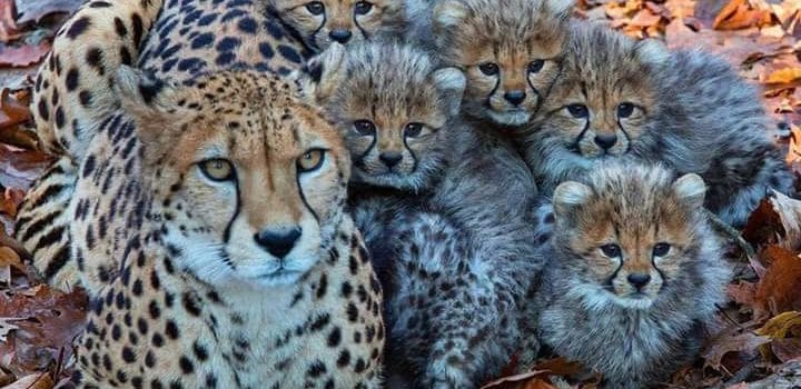 A Mother Cheetahs Guide to Parenting